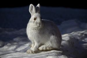 snowshoe-hare-1098932_640 copy.jpg